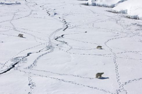 Сокращение площади морских льдов, где белые медведи живут и добывают пищу, может в ближайшем будущем привести к исчезновению популяции. На фото: три взрослых белых медведя в поисках пищи на морскому льду на юго-востоке Гренландии. Credit: Kristin Laidre, Вашингтонский университет / flickr.com
